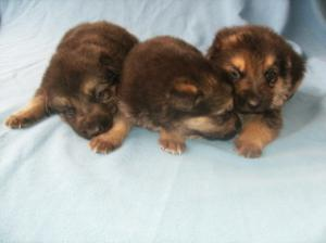 AKCGermanShepherdPuppies