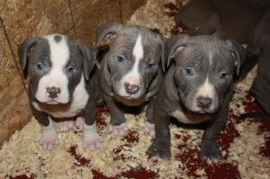 CellBlockKennels-AmericanPitBullTerrier