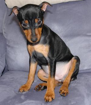 MiniaturePinscher