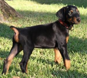Dobermannpuppiesforsale