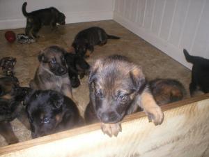 germanshepherdsforsale
