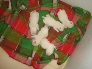 WestiepuppiesAvailable