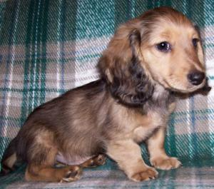 AKC Miniature Dachshund Puppies