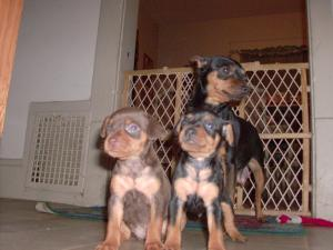 MiniatureDobermanPinchers