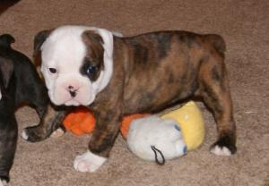 Olde English Bulldogge pups in Michigan