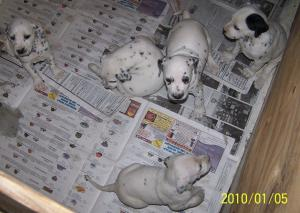 ReadyJanAKCDalmatianPuppies