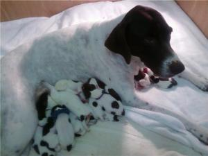 Precious German Shorthaired Pointers