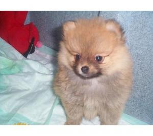 Pomeranian  puppies available at Poddarkennel.