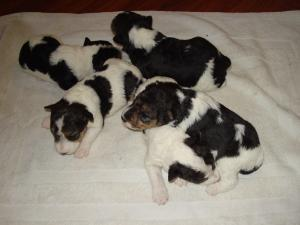 AKCWireFoxTerrierBirchhurstPuppies