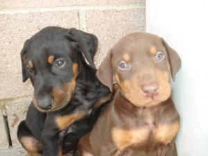 DOBERMANPINSCHERPUPPIESLOSANGELESCA