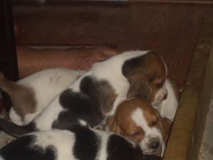Bassethoundpuppiesforsale