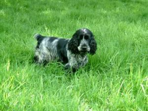 CockerSpanielpuppiesavailableatPoddarkennel