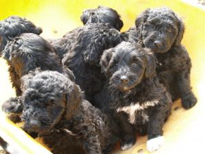 PortugueseWaterDogPuppies