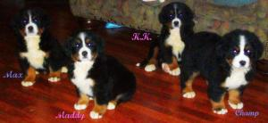 BerneseMountainDogPups