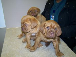 HugeREDFRENCHMASTIFFS