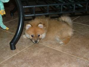 Sable Pomeranians