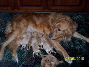 GoldenRetrieverPuppiesforSale