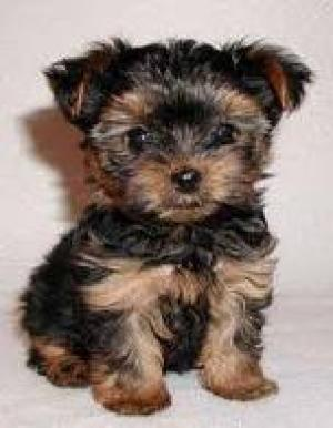 AffectionateTeacupYorkiePuppiesForAdoption