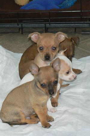 CKCChihuahuapuppies
