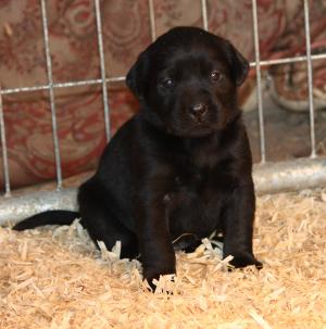 ckcblacklabpuppies