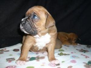 BoxerPuppies-TOOCUTE