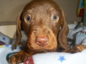 BeautifulChocolateDashshundPuppy