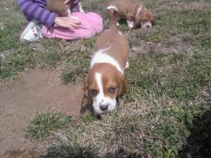 BassetPuppies