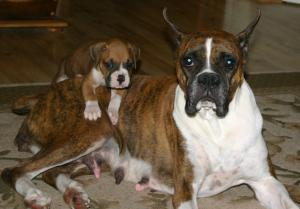 AKCCHBredBoxerPuppies