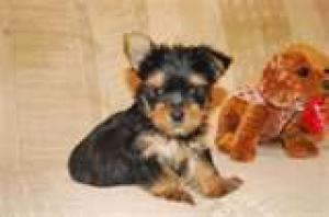 YorkshireTerrierpuppiesavailable