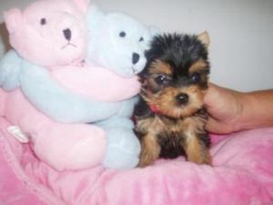 BeautifulTeacupYorkiePuppiesForFreeAdoption