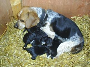 MixedBeaglePuppies