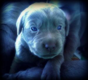 BeautifulRareSilverLabPuppies