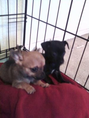 chihuahua puppies 4 sale