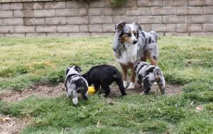 MiniToyAustralianShepherdpuppies