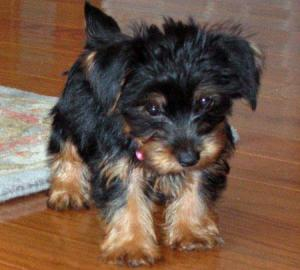 AdorableYorkiePuppiesForFreeAdoption