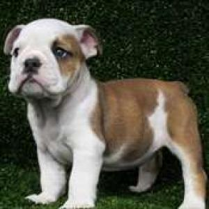 AffectionateEnglishBulldogPuppiesForGoodHome