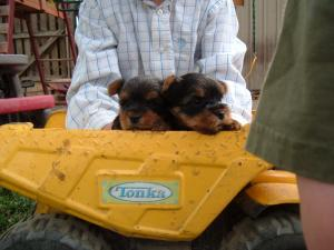 akc yorkie puppies in idaho