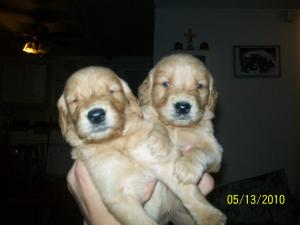PurebredGoldenRetrieverPuppies