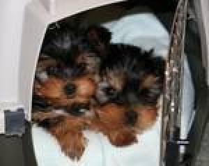 extremelycuteyorkiepuppiesforfreeadoption