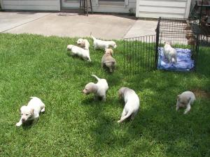 Lab puppies for sale full AKC