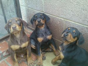 DobermanPinscherPuppiesinVANNUYSCA