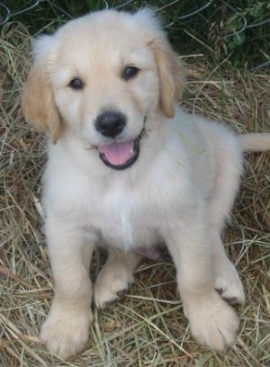 AKCGoldenRetrieverPuppies