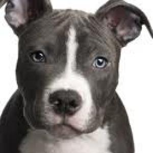 Adorable American Pit Bull Terrier Pups
