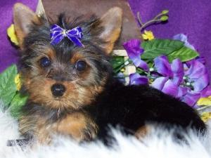 HealthyYorkiePuppiesForAdoption