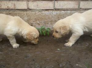 CKC Registered Golden Retriever Puppies