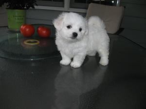 CuteMaltesePuppiesAvailable