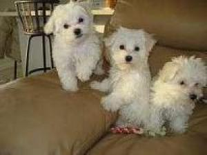 Maltese Puppies For Adoption.