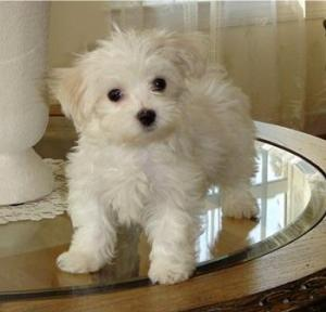 Cute Maltese Puppies Available