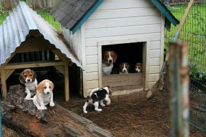 AKCRegisteredBeaglePuppies