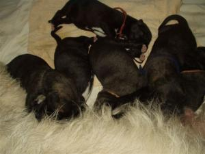 Irishwolfhoundpuppies